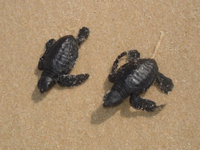 Turtle conservation in India (www.cadip.org)